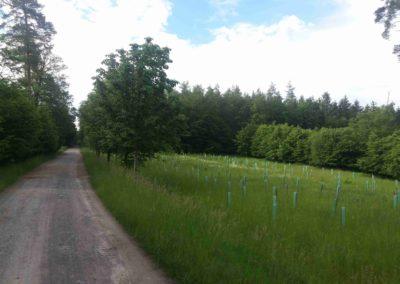 Lesní cesta Vojanka - výsadba